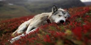 Dinlenen Kurt, Vahşi Hayvanlar Kanva Tablo