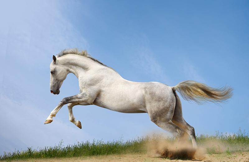 Dört Nala Koşan Beyaz At Hayvanlar Kanvas Tablo