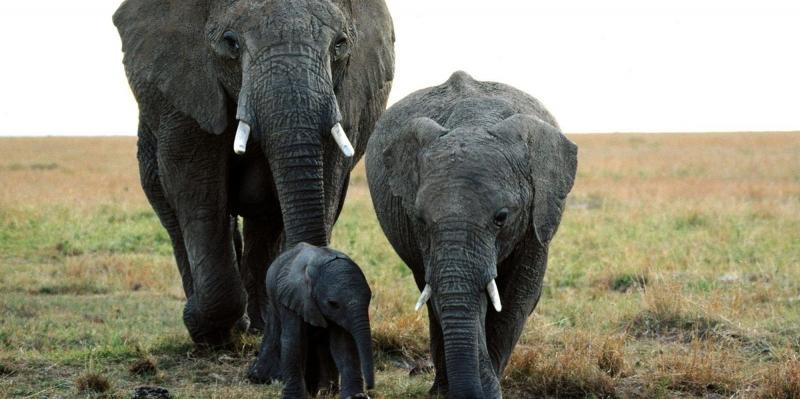 Fil Ailesi, Vahşi Hayvanlar Kanvas Tablo