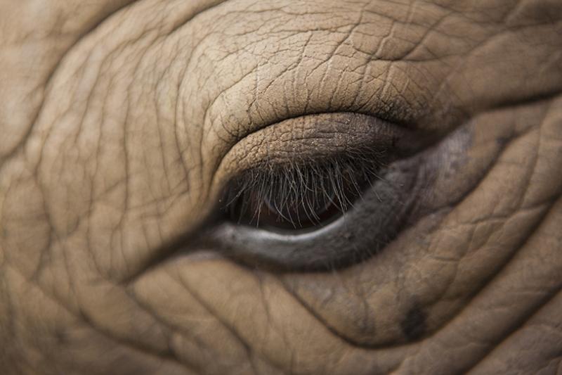 Fil Gözü Hayvanlar Kanvas Tablo