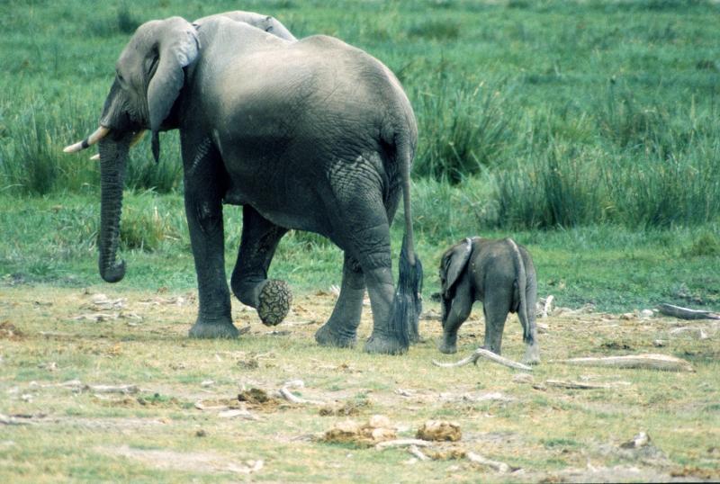 Filler 1 Fil Yavrusu Hayvanlar Kanvas Tablo