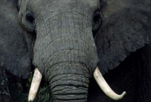 Filler 2 Fil Yavrusu Hayvanlar Kanvas Tablo