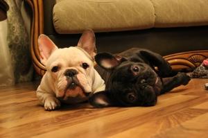 Fransız Bulldog Köpek Yavruları Hayvanlar Kanvas Tablo