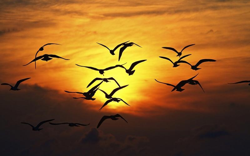 Göçmen Kuşlar Gün Batımı Doğa Manzaraları Kanvas Tablo