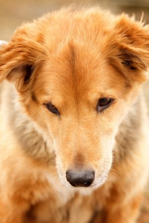 Golden Köpek Hayvanlar Kanvas Tablo