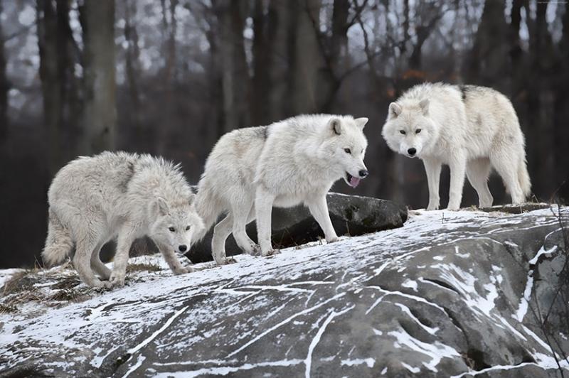 Gri Kurt Sürüsü Hayvanlar Kanvas Tablo