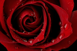 Gül Floral Kırmızı Kanvas Tablo