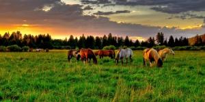 Gün Batımı Vahşi Atlar-1 Hayvanlar Kanvas Tablo