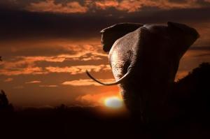 Gün Batımı ve Fil Hayvanlar Kanvas Tablo