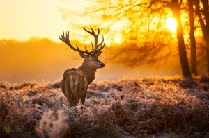 Gün Batımı ve Ren Geyiği Hayvanlar Kanvas Tablo