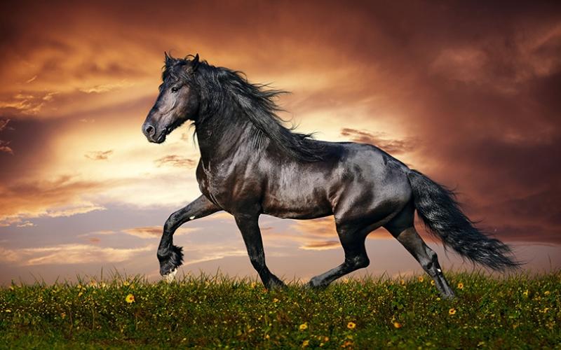 Gün Batımında Koşan Siyah At Hayvanlar Kanvas Tablo