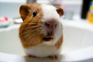 Hamster Hayvanlar Kanvas Tablo