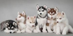 Husky Köpek Yavruları, Yavru Köpekler Kanvas Tablo