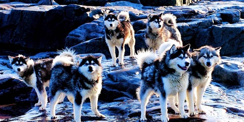 Husky Köpekler Kanvas Tablo