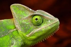 İguana 1 Yeşil İguana Hayvanlar Kanvas Tablo
