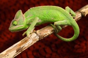 İguana 2 Yeşil İguana Hayvanlar Kanvas Tablo