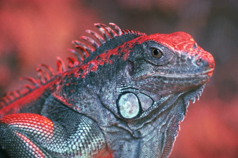 İguana 3 Kızıl İguana Hayvanlar Kanvas Tablo