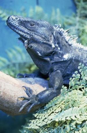 İguana 5 Siyah İguana Ejder Hayvanlar Kanvas Tablo