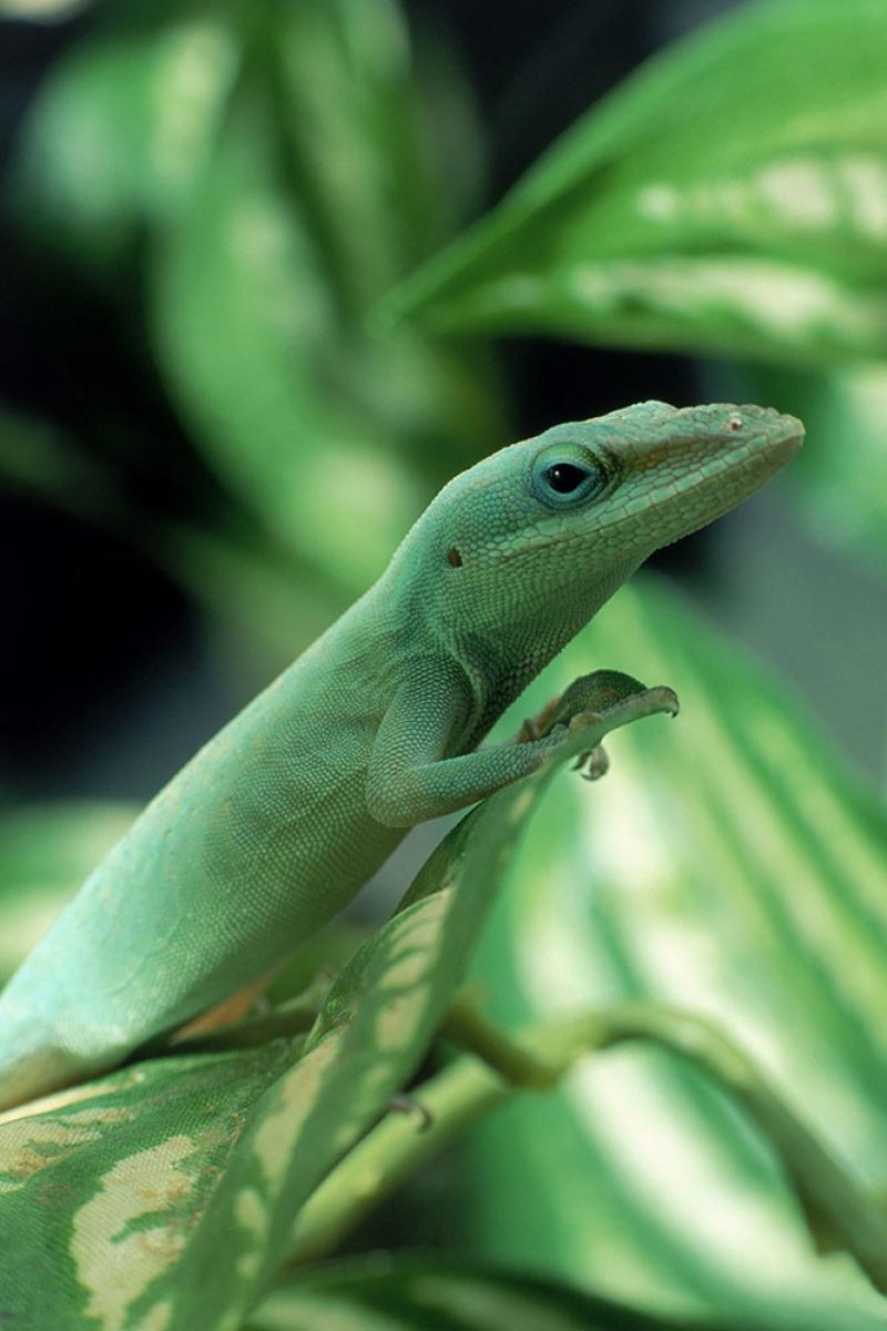 İguana 5 Yeşil İguana Yavru Hayvanlar Kanvas Tablo