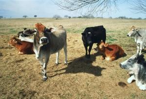 İnekler 5 İnek Sürüsü Hayvanlar Kanvas Tablo
