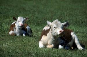 İnekler 6 Yavru İnek Hayvanlar Kanvas Tablo
