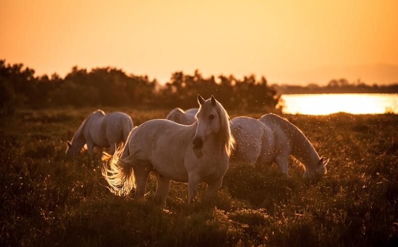 Irmak Kenarındaki Beyaz Atlar Hayvanlar Kanvas Tablo