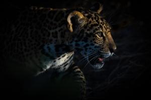 Jaguar Hayvanlar Kanvas Tablo