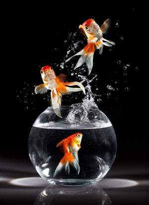 Japon Balıkları 2 Tatlı Su Balıkları Hayvanlar Kanvas Tablo