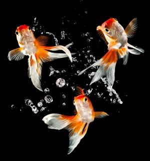 Japon Balıkları 3 Tatlı Su Balıkları Hayvanlar Kanvas Tablo
