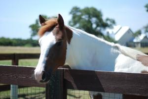 Kahverengi Beyaz At Hayvanlar Kanvas Tablo