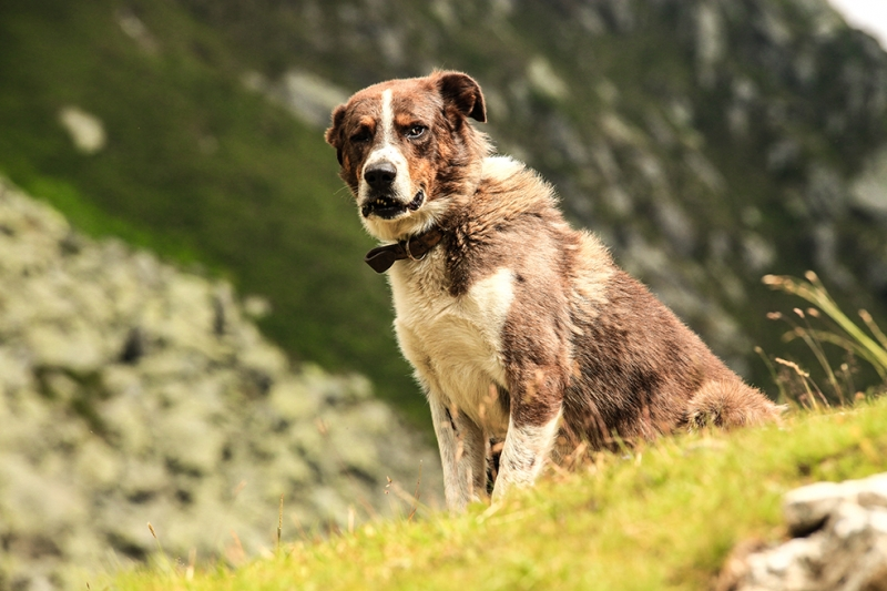 Kahverengi Köpek Hayvanlar Kanvas Tablo