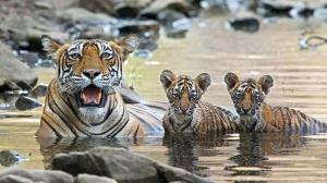 Kaplan Ailesi Hayvanlar Kanvas Tablo