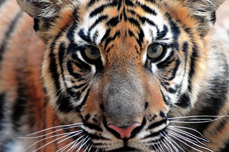 Kaplan Bakışları Hayvanlar Kanvas Tablo