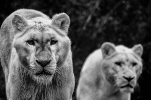 Kaplan Vahşi Yaşam Siyah Beyaz-2 Kanvas Tablo