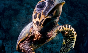 Kaplumbağa Hayvanlar Kanvas Tablo