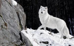 Karlar İçindeki Beyaz Kurt Hayvanlar Kanvas Tablo