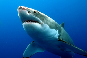Katil Köpek Balığı Hayvanlar Kanvas Tablo