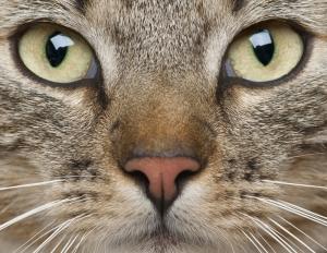 Kedi Gözleri Hayvanlar Kanvas Tablo