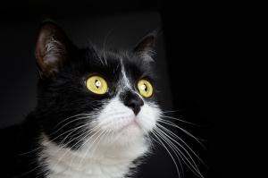 Kedi Hayvanlar Kanvas Tablo