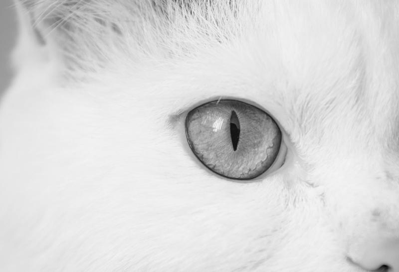 Kedi Siyah Beyaz Fotoğraf Kanvas Tablo