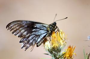 Kelebek 4 Doğa Manzaraları Kanvas Tablo