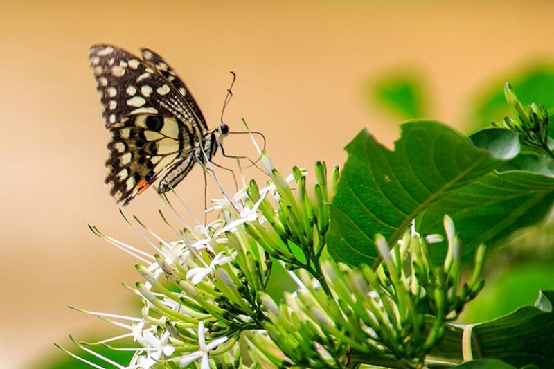 Kelebek Kanvas Tablo