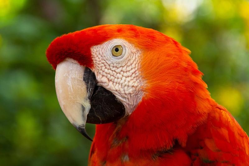 Kırmızı Tropikal Papağan Hayvanlar Kanvas Tablo