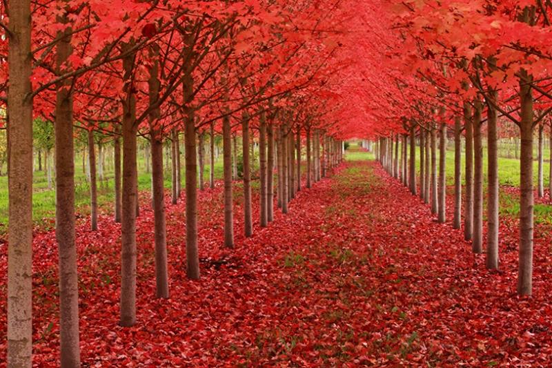 Kızıl Ağaç Yolu Kanvas Tablo