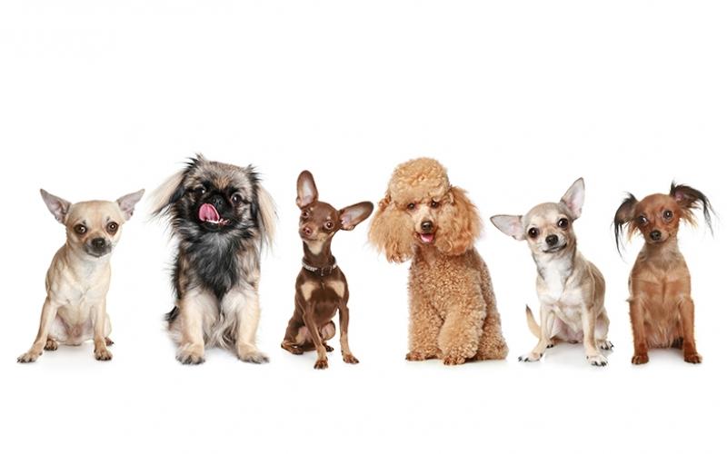 Komik Sevimli Köpekler Kanvas Tablo