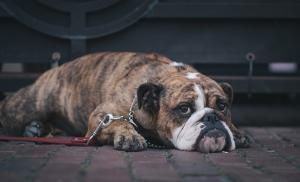 Köpek Hayvanlar Kanvas Tablo