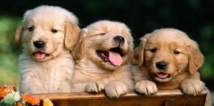 Köpek Yavruları Hayvanlar Kanvas Tablo
