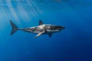 Köpekbalığı 3 Hayvanlar Kanvas Tablo
