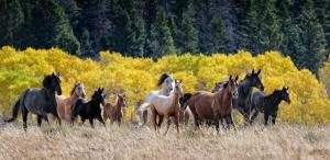Koşan At Sürüsü Hayvanlar Kanvas Tablo