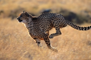 Koşan Çita Hayvanlar Kanvas Tablo